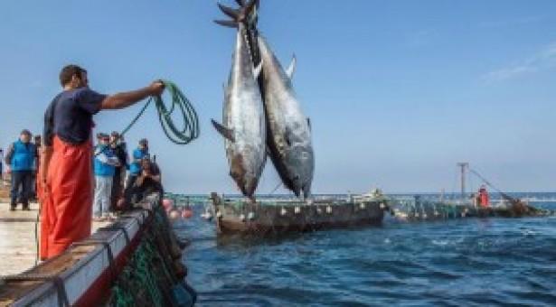 Settore ittico, armatori siciliani chiedono compatti lo stop all'emendamento che prevede l'azzeramento delle quote per la pesca del tonno rosso