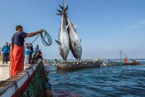 epa06754422 Fishermen are seen during the so called 'levanta' or raise of the net as they perform the traditional tuna fishing art called 'almadraba' at sea near the coast in Barbate, Southern Spain, 21 May 2018. The 'almadraba' fishing art has been used in the region since Phoenician times 3,000 years ago. Fishermen work for two months to place the 'almadraba', a labyrinth of nets in which the tuna fish get trapped as they migrate from the Atlantic ocean into the Mediterranean sea. When the fishing season starts fishermen travel on boats to where the 'almadraba' is placed and raise the nets in which the fish are tangled in order to catch them one by one.
